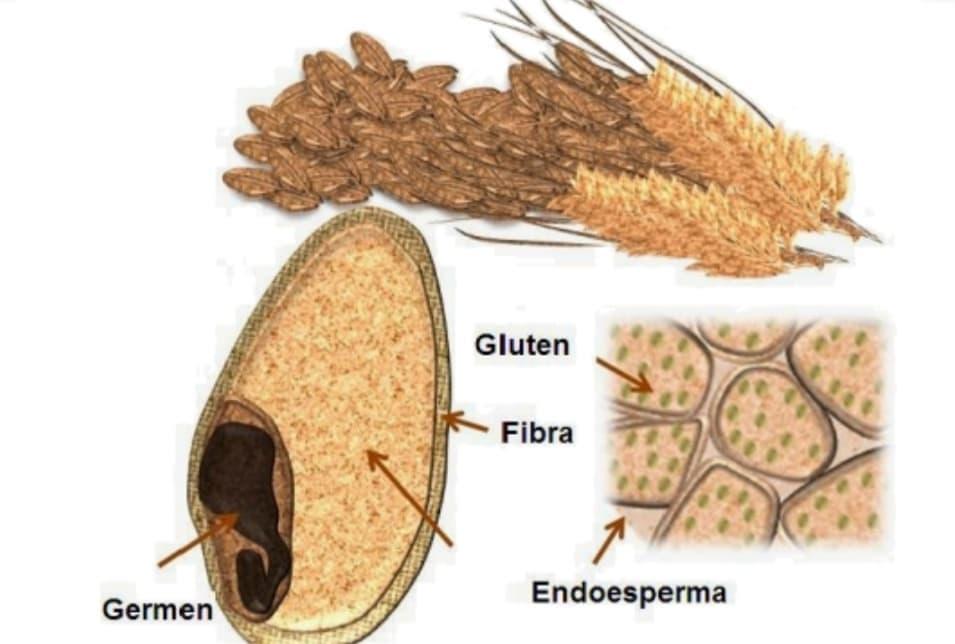 Hablemos del trigo y el gluten.